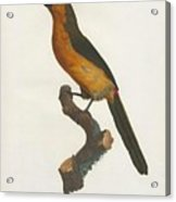 The Gag Aracari Acrylic Print