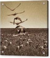 The Gathering - Sandhill Cranes Acrylic Print