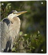 The Gaze - Great Blue Heron - Ardea Hernias Acrylic Print