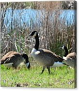 The Geese Are Back Acrylic Print