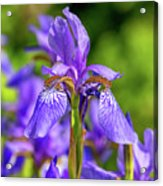 The Gentleness Of Spring 5 Acrylic Print