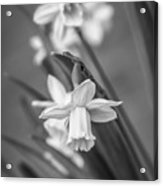 The Gentleness Of Spring Bw Acrylic Print