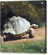 The Giant Tortoise Is Walking Acrylic Print