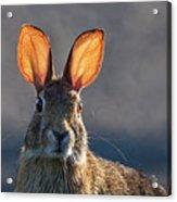 Golden Ears Bunny Acrylic Print