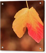 The Golden Leaf Of Fall Acrylic Print by Tracy Hall