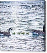 The Goose Family Acrylic Print