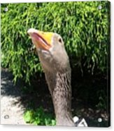 The Goose Look Acrylic Print