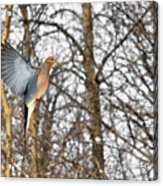 The Graceful Mourning Dove In-flight Acrylic Print