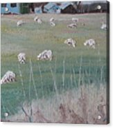 The Grazing Sheep Acrylic Print