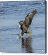 The Great American Bald Eagle 2016-8 Acrylic Print