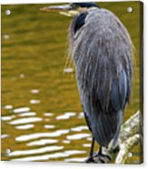 The Great Blue Heron Perched On A Tree Branch Acrylic Print