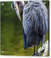 The Great Blue Heron Perched On A Tree Branch Preening Acrylic Print