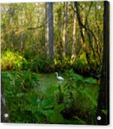 The Great Corkscrew Swamp Acrylic Print