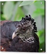 The Great Curassow 3 Acrylic Print