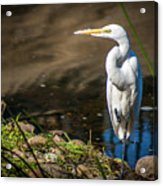 The Great Egret Acrylic Print