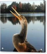 The Great Golden Crested Anhinga Acrylic Print