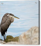 The Great Old Heron Acrylic Print