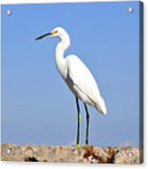 The Great Snowy Egret Acrylic Print