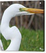 The Great White Egret Acrylic Print
