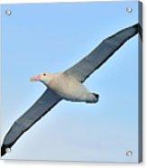 The Greatest Seabird Acrylic Print