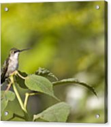The Green Hummingbird Acrylic Print