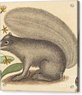The Grey Fox Squirrel (sciurus Cinereus) Acrylic Print