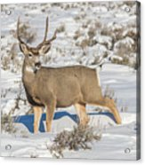 The Gtnp Mule Deer Buck Acrylic Print