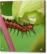 The Gulf Fritillary Caterpillar  Acrylic Print