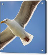 The Gull Acrylic Print