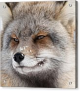 The Handsome Cross Fox Male Acrylic Print