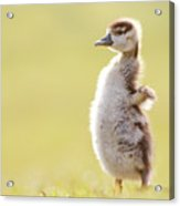The Happy Chick - Happy Easter Acrylic Print