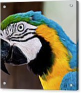 The Happy Macaw Acrylic Print