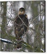 The Hawks Have Eyes Acrylic Print