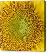 The Heart Of The Sunflower Acrylic Print