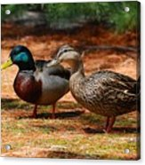The Honeymooners - Mallard Ducks  Acrylic Print