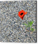The Hopeful Poppy Acrylic Print