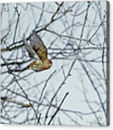 The House Finch In-flight Acrylic Print