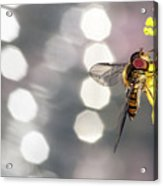 The Hoverfly Acrylic Print