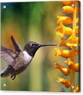 The Hummingbird And The Bee Acrylic Print