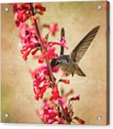 The Hummingbird And The Spring Flowers  Acrylic Print
