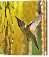 The Hummingbird And The Yellow Aloe  Acrylic Print