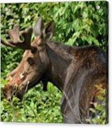 The Hungry Moose Acrylic Print