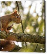 The Hypnotized Squirrel Acrylic Print