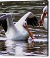 The Impressive Landing Pelican Acrylic Print