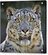 The Intense Stare Of A Snow Leopard Acrylic Print