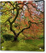 The Japanese Maple Tree In Spring Acrylic Print