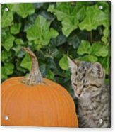 The Kitten And The Pumpkin Acrylic Print