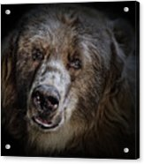 The Kodiak Bear Acrylic Print by Animus Photography