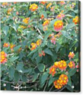 The Lantana In The Near 20 Acrylic Print