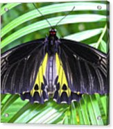 The Largest Butterfly In The World Acrylic Print